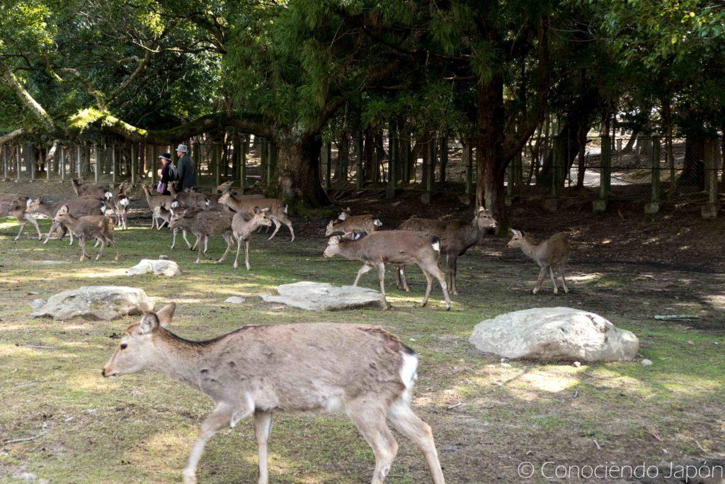 Ciervos en el parque de Nara